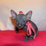 Black sphynx male (sold)